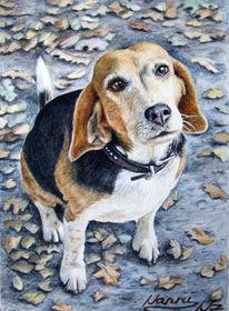 Tiere, Hundeblick, Beagle, Hundeportrait