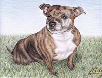 Englisch, Hund, Staffordshire, Portrait