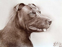 Pittbull, Portrait, Kohlezeichnung, Odin