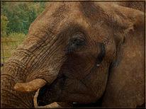 Elefant, Wimpern, Augen, Fotografie