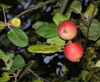 Apfel, Wildapfel, Baum, Obst