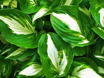 Grün, Nahaufnahme, Blätter, Weiß