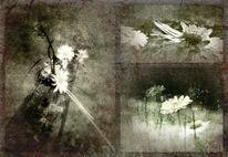 Bellis, Blumen, Natur, Schwarzweiß