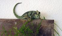 Kobold, Reptil, Portrait, Kunstliebhaber