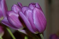 Tulpen, Blumen, Stillleben, Fotografie