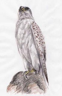 Gerfalke, Falco, Senckenberg, Rusticolus