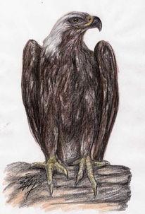 Savigny, Vogel, Greifvogel, Naturkunde