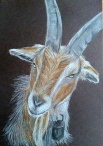 Ziege tierportrait, Zeichnungen