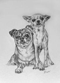 Hundeportrait, Hund, Tierportrait, Chihuahua