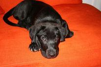 Labrador, Niedlich, Hund, Ramses