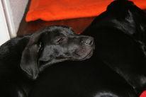 Labrador, Ramses, Niedlich, Hund