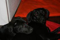 Hund, Labrador, Ramses, Niedlich