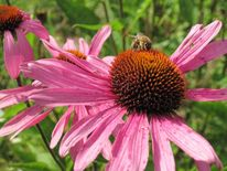 Sonnenhut, Echinacea, Biene, Blüte