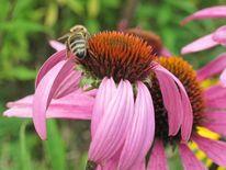 Biene, Sommer, Sonnenhut, Echinacea