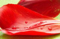 Tulpen, Blüte, Tropfen, Makro