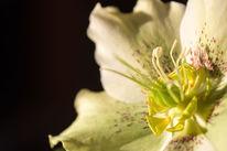 Makro, Blumen, Christrose, Weiß
