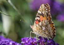 Makro, Sommerflieder, Pflanzen, Schmetterling