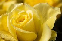 Blüte, Rose, Gelb, Makro