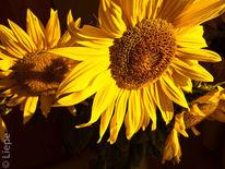 Sommer, Herbst, Sonnenblumen, Gelb
