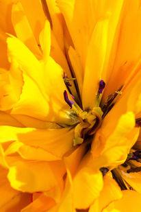 Tulpen, Makro, Gelb, Staubgefäße