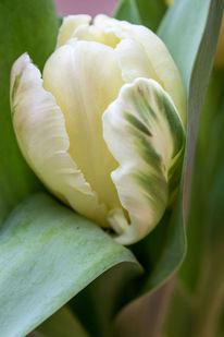 Makro, Grün, Tulpen, Fotografie