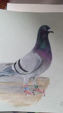 Pastellmalerei, Preisgekürte taube, Zeichnung, Zeichnungen