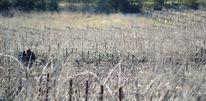 Weinstock, Weingarten, Weinsorten, Südfrankreich