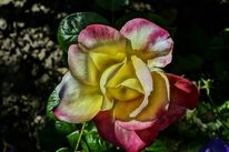 Entfremdung, Rose, Tief, Gelb