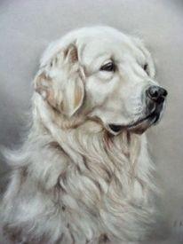 Hund, Hundeportrait, Golden retriever, Zeichnungen
