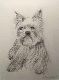 Yorki, Tierportrait, Yorkshire terrier, Zeichnungen
