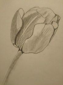 Tulpen, Blumen, Knospe, Zeichnungen