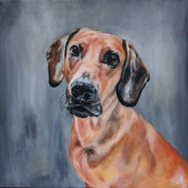 Rüde, Portrait, Schweisshund, Hund