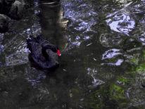 Schwan, Wasser, Teich, Schwarz