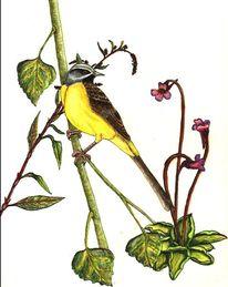 Singvogel, Vogel, Gebirgsstelze, Aquarell
