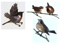 Zaunkönige, Vogel, Singvogel, Wacholderdrossel