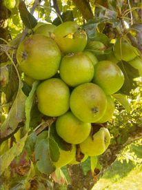 Grün, Apfel, Obst, Herbst
