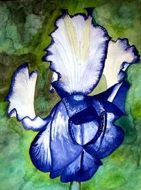 Blumen, Blüte, Iris, Aquarellmalerei