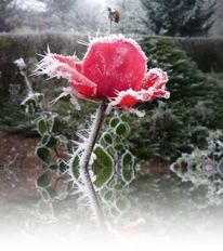 Winter, Natur, Rose, Blumen
