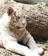 Tiere, Natur, Katze, Tiger