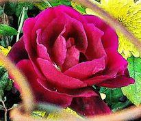 Blumen, Pflanzen, Rose, Natur