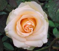 Rose, Natur, Pflanzen, Blumen