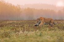 Sauvage, Morgengrauen, Tiger, Katze