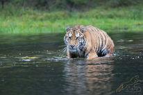 Katze, Wild, Sauvage, Tiger