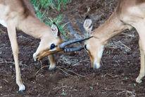 Afrika, Impala, Antilope, Kampf