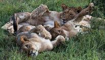 Kinder, Großkatze, Baby, Löwe