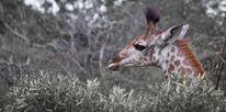 Jung, Kalb, Giraffe, Afrika