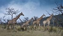 Afrika, Safari, Giraffe, Fotografie