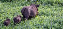 Warzenschwein, Safari, Familie, Ferkel