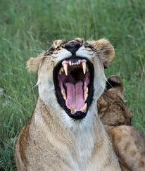 Gähnen, Großkatze, Afrika, Löwe