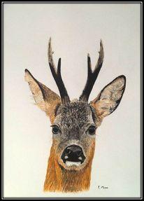 Jagd, Wild, Rehbock, Zeichnungen